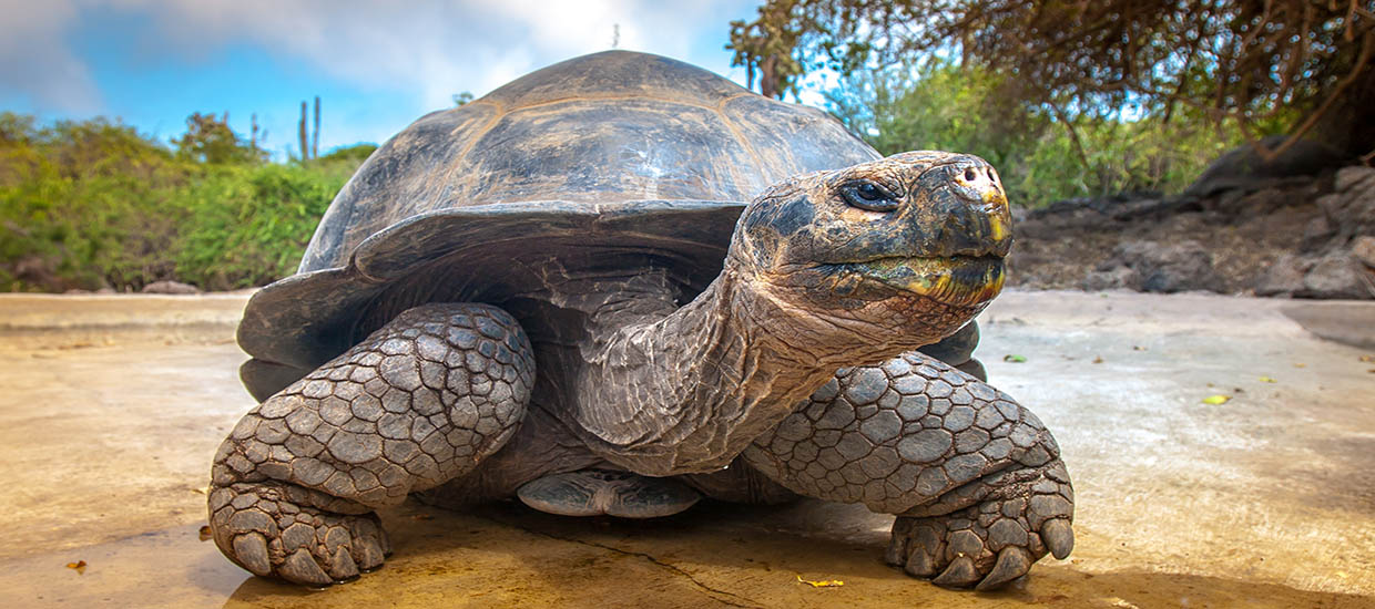 A stock photo of a Galapagos tortoise in on the Galapagos Islands off of the coast of Ecuador.