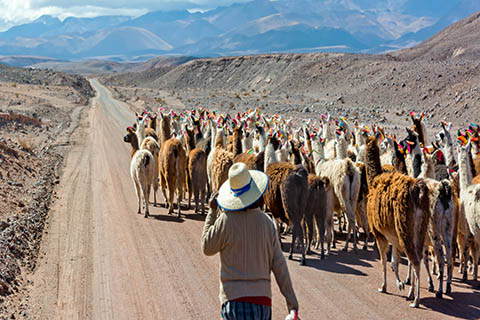 A photo of a woman herding llamas in San Pedro de Atacama, Chile.